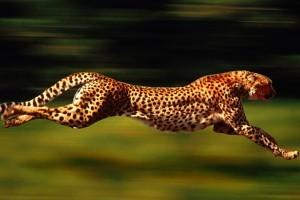 راز جالب سریع دویدن یوزپلنگ فاش شد
