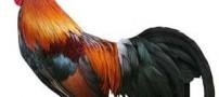 تغییر جنسیت باورنکردنی یک خروس به مرغ !!!