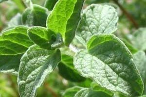فواید گیاه معطر پونه