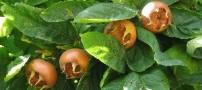 خواص میوه ی ازگیل