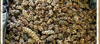 راز تهیه گرانترین قهوه جهان با مدفوع این حیوان !!