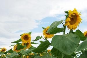 خواص دارویی و خوراکی تخمه آفتاب گردان