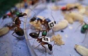 رابطه ی سن مورچه ها و تنوع شغلی آنها!