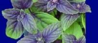 معرفی تمامی عرقیات گیاهی معجزه آسا