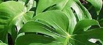 راهنمای مراقبت از گل برگ انجیری