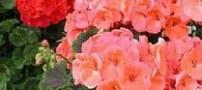 راهنمای مراقبت از گل های شمعدانی