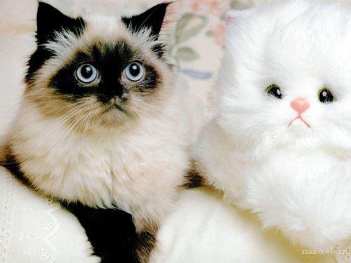 تعبیر خواب گربه سفید یا سیاه؛ تعبیر انواع گربه